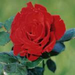 moms-rose
